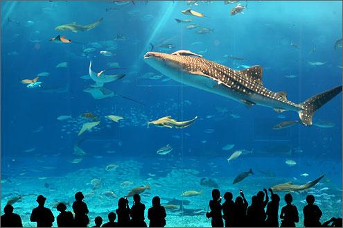 水族館のジンベエザメ