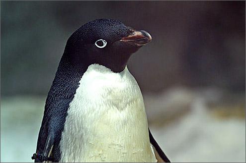 アデリーペンギンの画像 p1_9