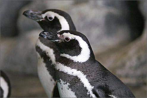 ペンギンの画像 p1_12
